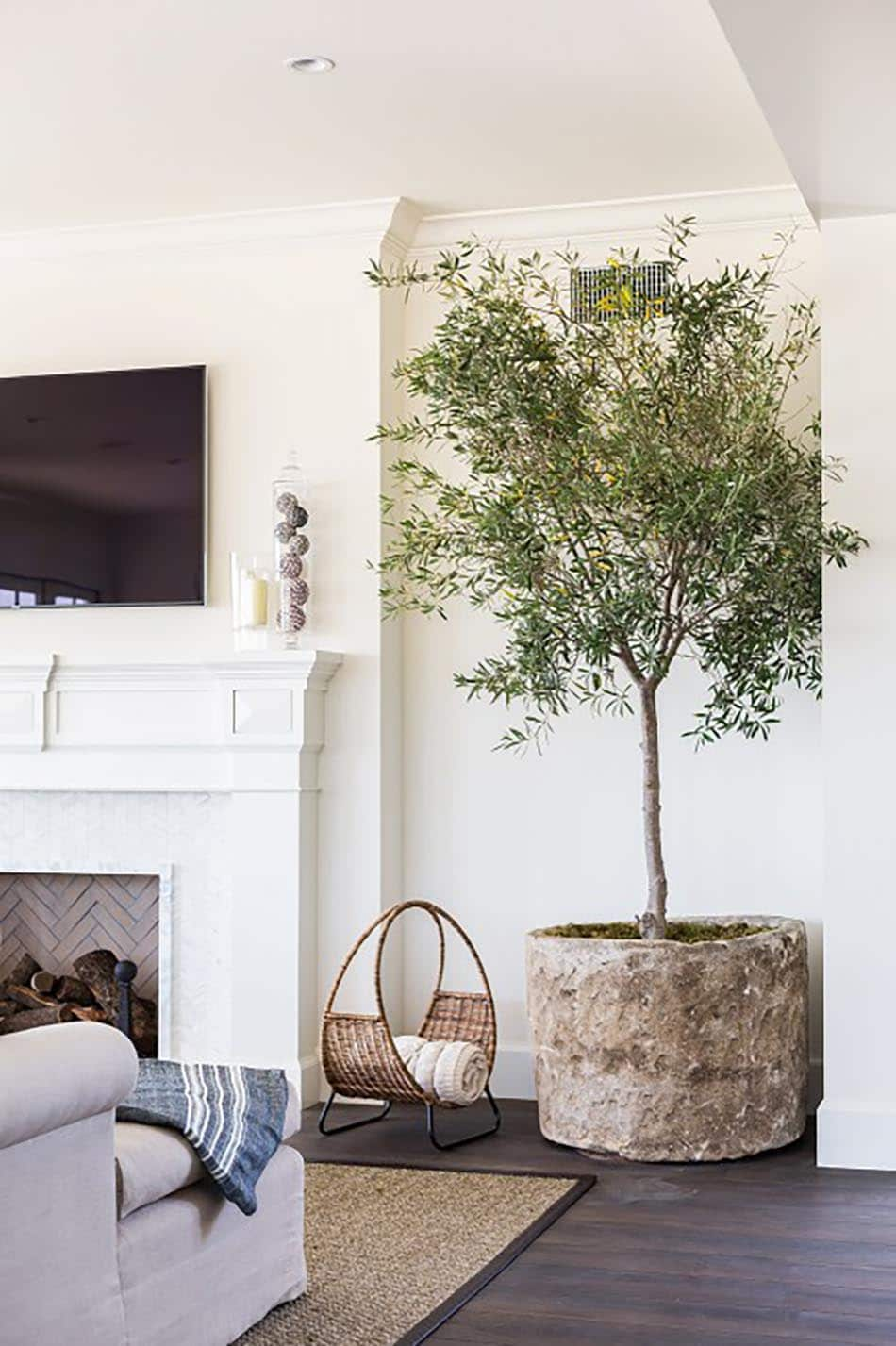 Olive Trees Are The New Fiddle Leaf Fig Chris Loves Julia